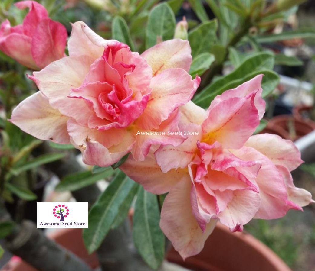 Adenium 富贵花 Fu Gui Flower Magnificent 10 seeds benih