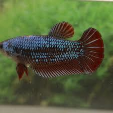 Female Giant Betta Fish