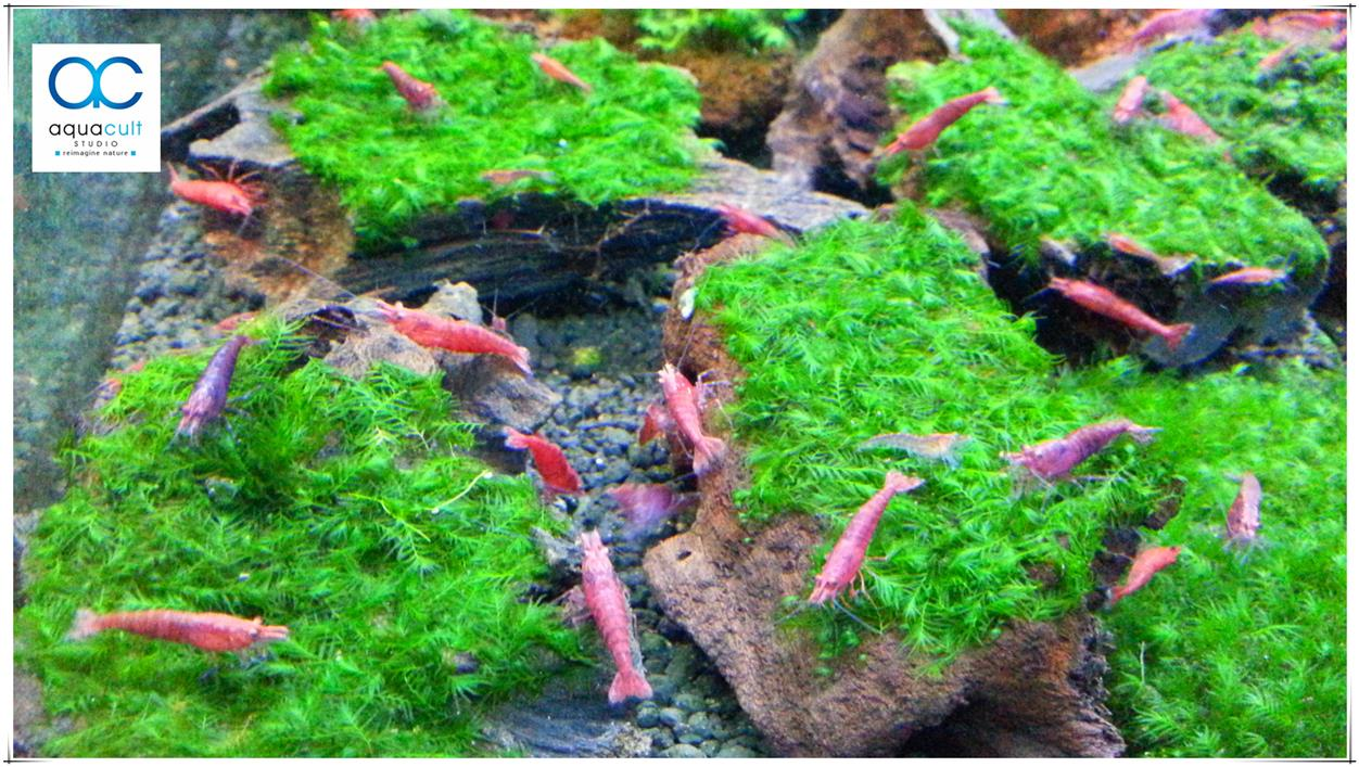 US Fissiden Moss (on wood) Aquarium aquatic aquascape plant