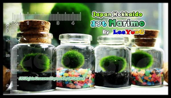 Marimo Moss Ball Planted Tank Nano Marimo Moss Ball With