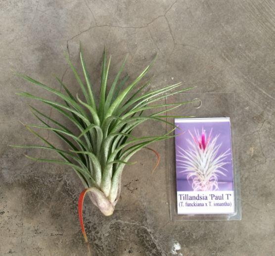Hybrid tillandsia paul end 9 3 2016 10 15 pm Tillandsia hybrids