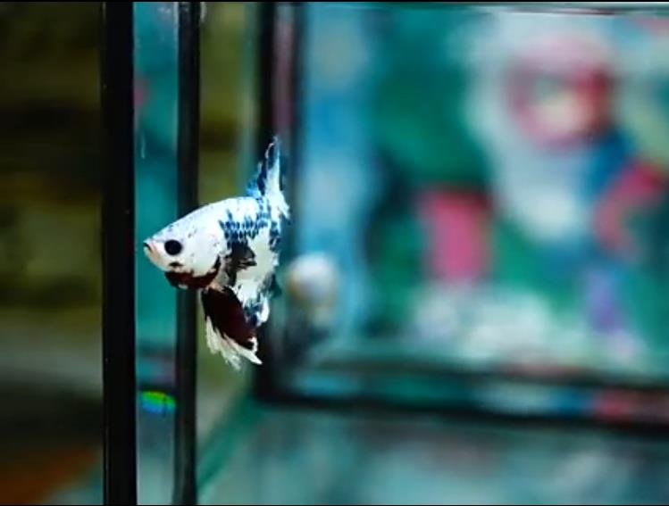 Marble White Mask Half Moon Plakat Betta Fish (Rare)