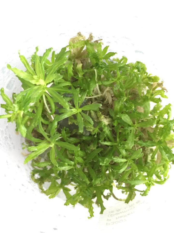 Pogostemon Helferi / Downoi Tissue Culture