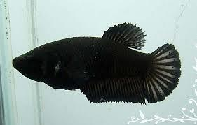 Super Black Female Plakat Betta Fish