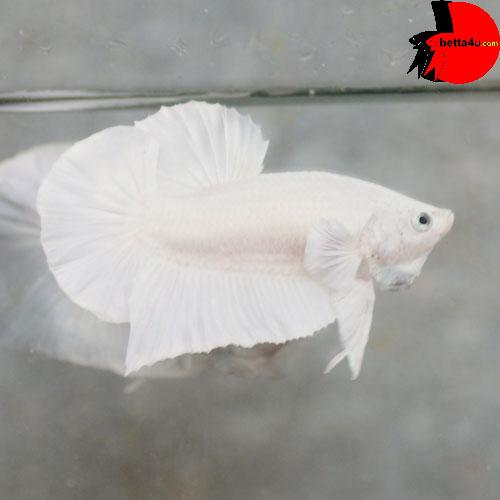 HMPK485 - Super Red Plakat ! ~ Betta 138