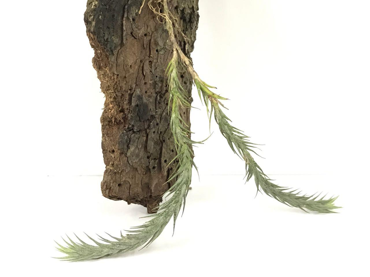 Tillandsia Tricholepsis (Twin) - Air Plant