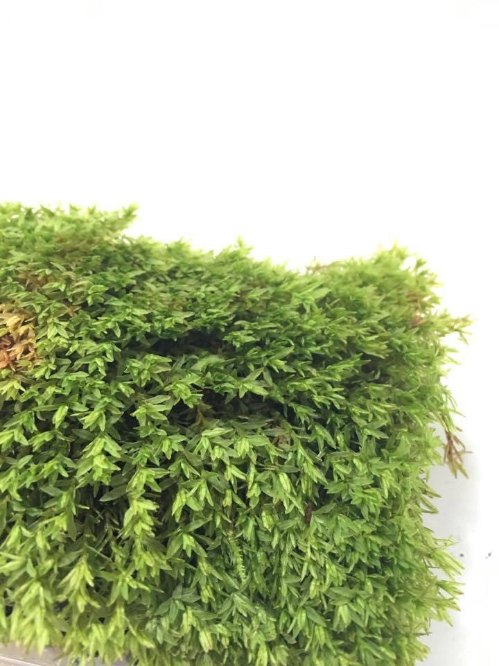 Tropical Pillow Moss