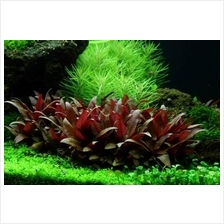 Alternanthera Reineckii (pot) aquarium aquatic aquascape plant