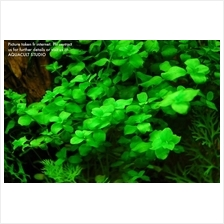 Bacopa Australis pot aquarium aquascape terrarium vivarium plant