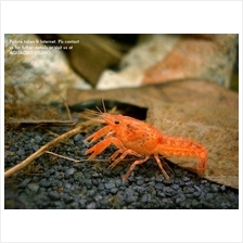 Mexican Dwarf Crayfish (lobster freshwater crab aquarium)