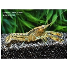 Cambarellus Texanus (aquarium freshwater lobster crab fish)