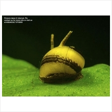 Horn Snail  (Freshwater Aquarium Fish / Aquascape / Shrimp algae )