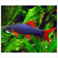 Rainbow Shark - Epalzeorhynchos frenatum (Aquarium fish)