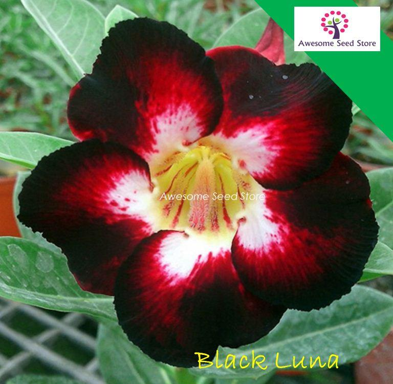 Adenium 富贵花 Fu Gui Flower Seed Black Luna 10 seeds