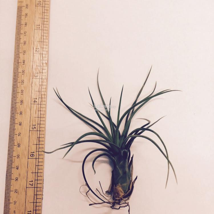 Air Plant - Aeranthos