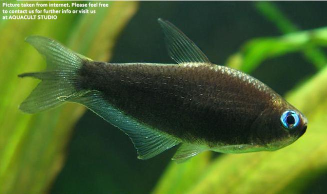 Black Emperor Tetra (Aquascape / Aquarium / Fish )