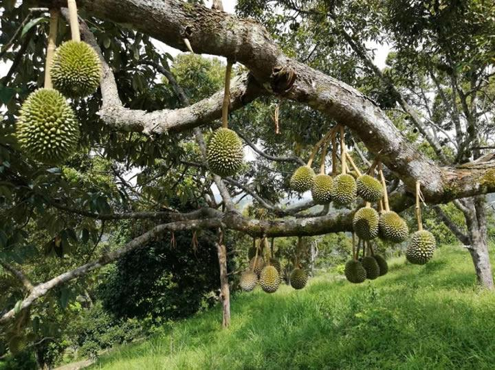 Durian Private Tours (June - Sept 2019) - Testing dun buy