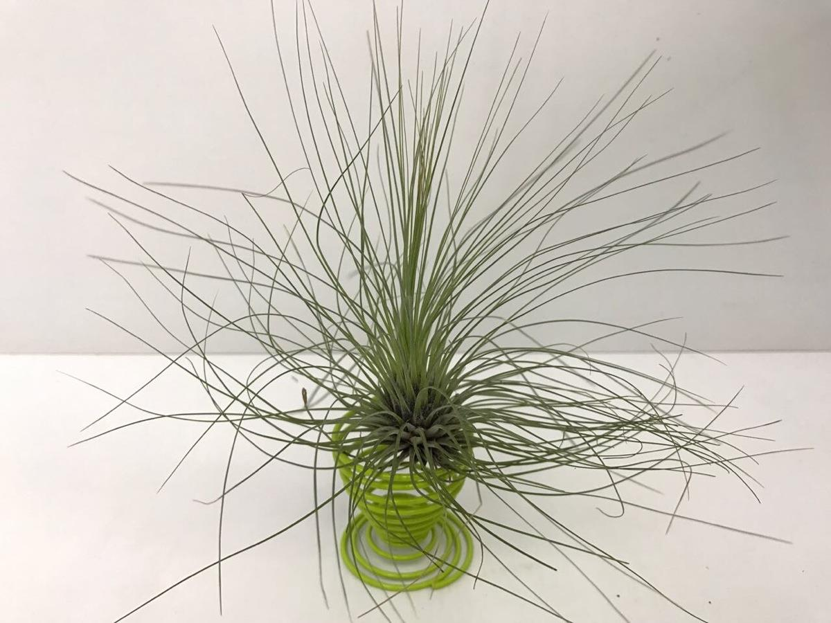 Tillandsia Filifolia - Air Plant
