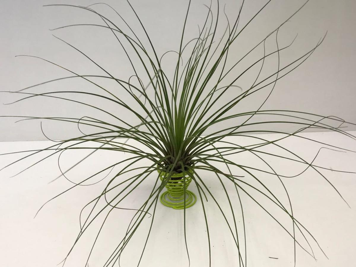 Tillandsia Juncea - Air Plant