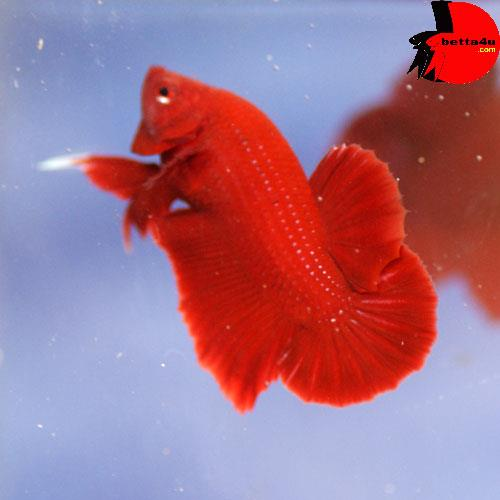 Young super red hm plakat betta spl end 9 29 2015 1 15 am for What kind of fish am i